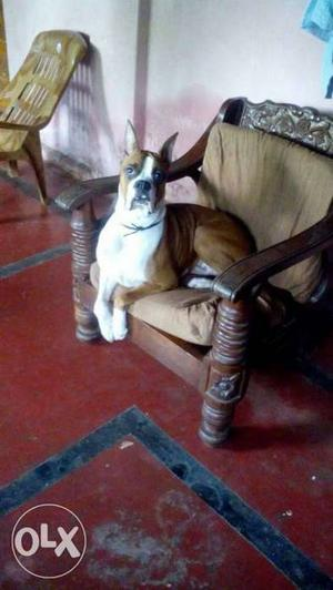 Certified, show quality BOXER, NEEDS FEMALE FOR MATING