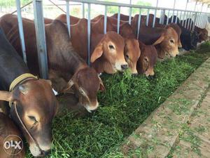 Gir Cow Milk - #GolfClub