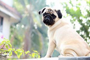 Fawn Pug In Ernakulam