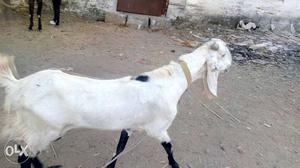 Female Goat for Sale, 1, 1/2 year old. white and