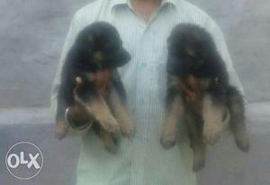 German Shephard Male And Female Pup For Sale Male