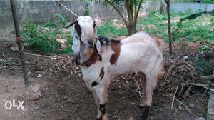 Jamnapari male goat full size | Posot Class
