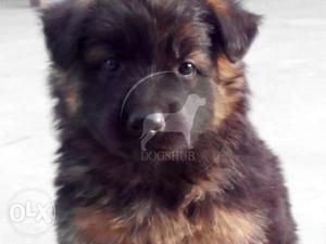 Normal TT Quality HLIKE German puppies only  male B