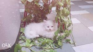 Persian cat kittens white and bicolor