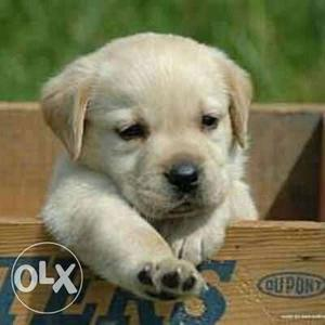 Show quality Labrador Puppies avable pure breed import