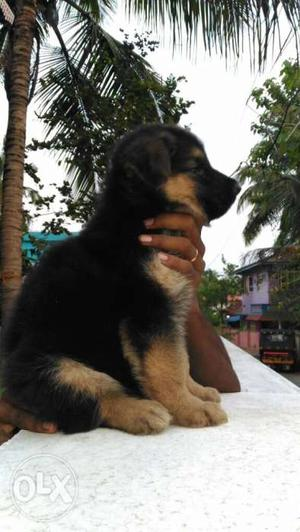 Top heavy germanship male and female puppys top