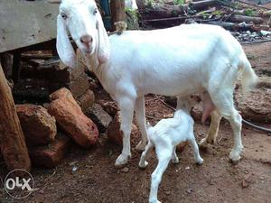 White Goat With Goat Kid 1 liter milk pre day o