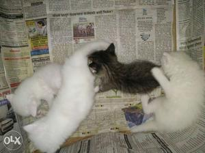 3 White and one Black short Coated persian kitten...One