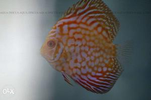 Best quality discus fish in india posot class for Discus fish price