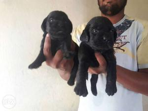 Good quality Labrador puppies for sale.