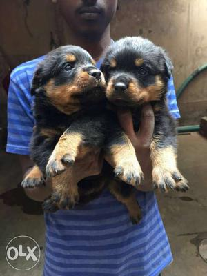 Hi Show quality Rottweiler Puppy available... interested