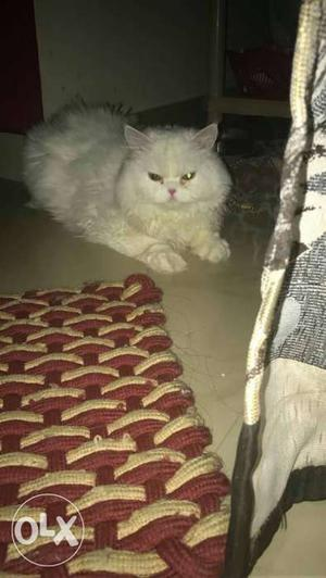 Persian Male Cat 11 Months Old Heavy born and