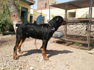 Rottweiler male 2year old for sell /- argent