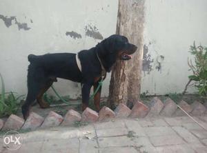 Rottwilier Dog 1. 2 year old