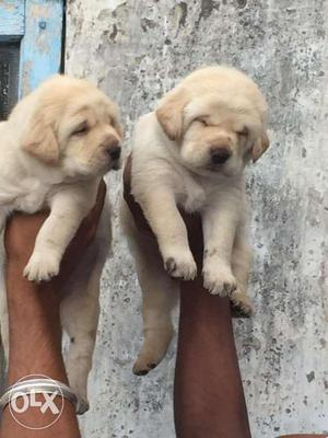 Show quality Labrador puppies available at good