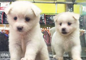 So Cute and affordable Pomeranian puppies now in Mumbai