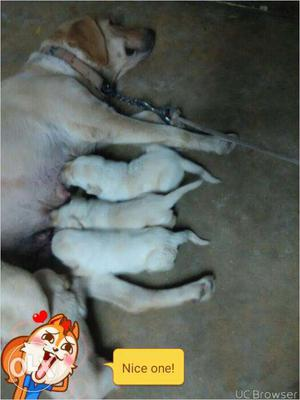 Good quality labrador puppys available for sale