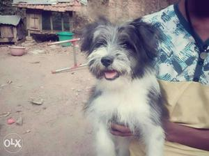 Lhasapso first quality male 4month old puppy for