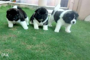 American Akita dog's for sale. Certified by