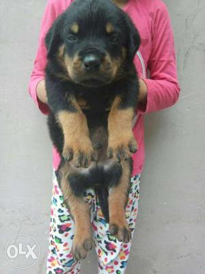 CALL O6 Top quality Rottweiler puppy heavy bonne big