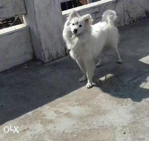 Healthy white pamelion 11 months old
