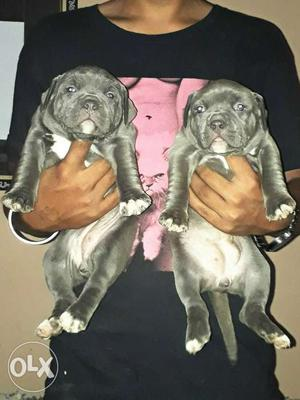 Important Blue American Bully Female Pup Sell