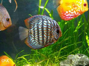 Discus fish mix breed for sale posot class for Discus fish for sale near me