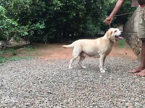 Labradore female 2.5 yr old for sale in ernakulam kolenchery
