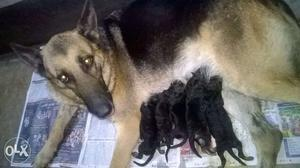 Long coat, double coat showline gsd puppies (15