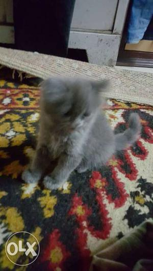 Persian cat 2month old ready for sale.