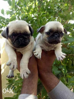 Pug male puppies available all breeds puppies