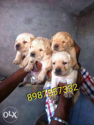 Show quality Labrador puppy available Plz only call