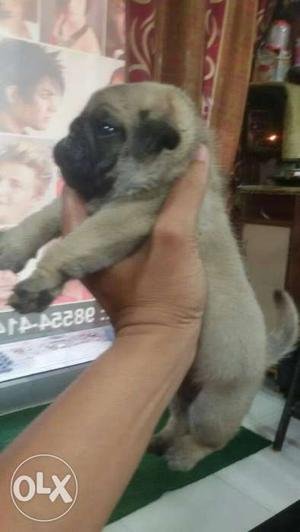 Show quality full under nose male pup for new