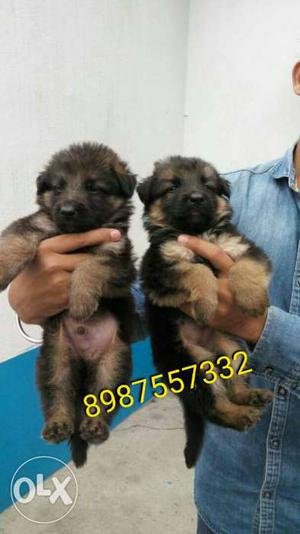 Show quality gsd puppy available Plz only call