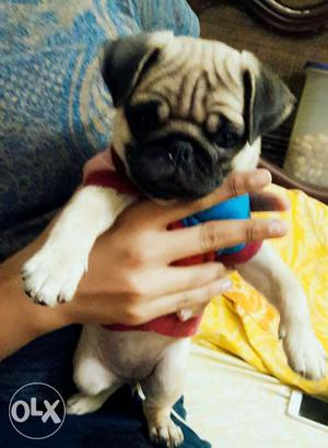 Top quality full under nose pug male pup for show