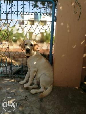 1 year 5 months old Labordor golden retrevier Male for SALE