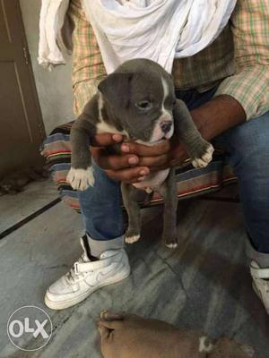 American bully & american pitbull Puppies