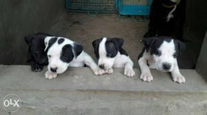 American pitbull male female pups available.. all