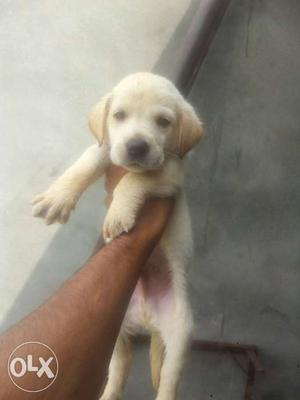 Awsome features labra babies n other all breed puppies