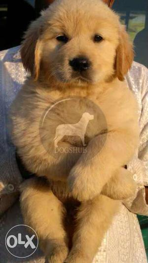 Big Big Quality Golden Retriever puppies female  B