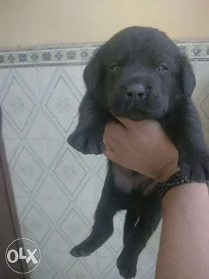 Labrador puppy for sell at best price at