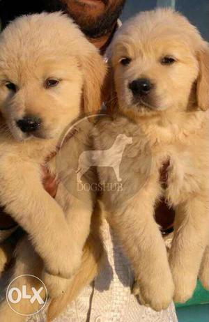 Normal Big Quality Golden Retriever puppies only  male