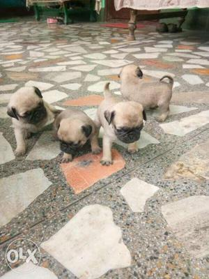 Pug Puppies 2 male and female. 40 days old