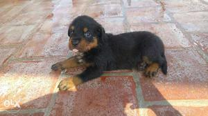 Rottweiler Male Puppy For Sale