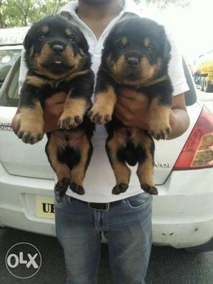 Rottweiler # puppy for sell at best price male