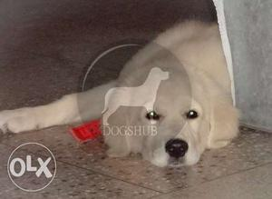 Small Big Breed Toy Golden Retriever male and female puppies