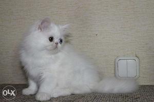 So Priti Persian cat and kitten For sale.In Noida