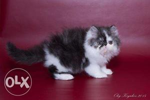 Very lovely and healthy pure Persian kitties & cat for sale.
