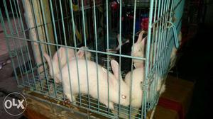 White rabbits for sale in vizag