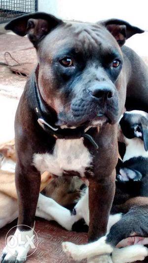 American Pitbull Terrier champion bloodline, heavy bones